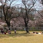 茅野スポーツ公園桜 (20)