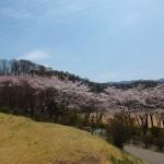 茅野スポーツ公園桜 (81)
