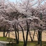 茅野スポーツ公園桜 (77)