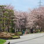 茅野スポーツ公園桜 (1)