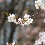 茅野スポーツ公園桜 (44)