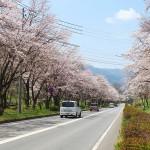 茅野スポーツ公園桜 (40)