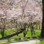 茅野スポーツ公園桜 (14)