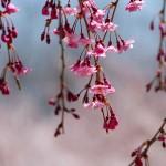 茅野スポーツ公園桜 (82)