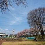 茅野スポーツ公園桜 (16)