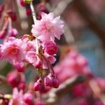 茅野スポーツ公園桜 (76)