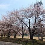 茅野スポーツ公園桜 (88)