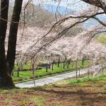 茅野スポーツ公園桜 (25)