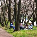 茅野スポーツ公園桜 (36)