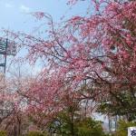 茅野スポーツ公園桜 (72)