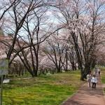 茅野スポーツ公園桜 (6)