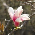 茅野スポーツ公園桜 (56)