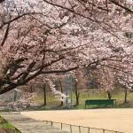 茅野スポーツ公園桜 (71)