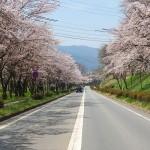 茅野スポーツ公園桜 (41)