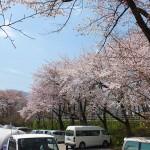 茅野スポーツ公園桜 (62)
