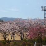 茅野スポーツ公園桜 (80)
