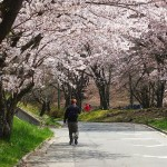 茅野スポーツ公園桜 (64)