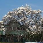 茅野スポーツ公園桜 (58)