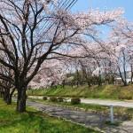 茅野スポーツ公園桜 (42)