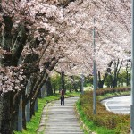 茅野スポーツ公園桜 (48)