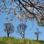 茅野スポーツ公園桜 (63)