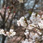 茅野スポーツ公園桜 (45)