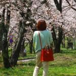 茅野スポーツ公園桜 (5)