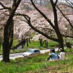 茅野スポーツ公園桜 (12)