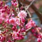 茅野スポーツ公園桜 (75)