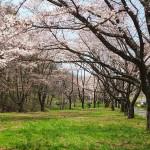 茅野スポーツ公園桜 (43)