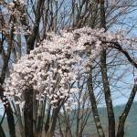 茅野スポーツ公園桜 (46)