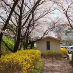 茅野スポーツ公園桜 (61)