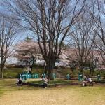 茅野スポーツ公園桜 (18)