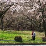 茅野スポーツ公園桜 (7)
