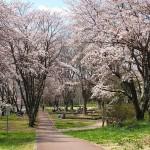 茅野スポーツ公園桜 (53)
