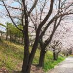 茅野スポーツ公園桜 (66)