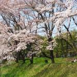 茅野スポーツ公園桜 (47)