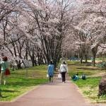 茅野スポーツ公園桜 (4)