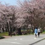 茅野スポーツ公園桜 (3)