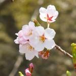 茅野スポーツ公園桜 (70)