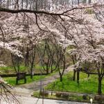 茅野スポーツ公園桜 (26)