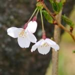 茅野スポーツ公園桜 (69)