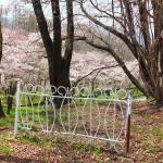 茅野スポーツ公園桜 (24)
