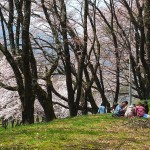 茅野スポーツ公園桜 (9)