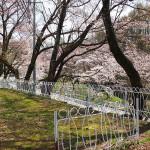 茅野スポーツ公園桜 (31)