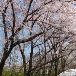 茅野スポーツ公園桜 (60)