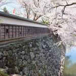 高島城桜2 214