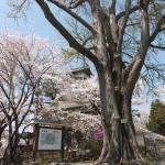 高島城桜2 171