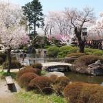 高島城桜2 110
