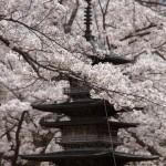 聖光時桜 (95)